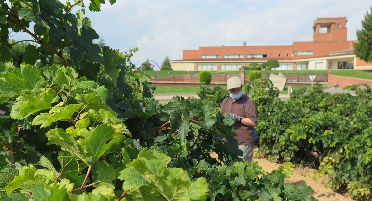 vendimia de vinos solidarios de ENATE